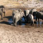 Elephant at ever decreasing waterhole