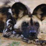 Painted Hunting Dog