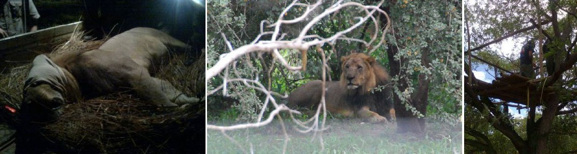 Once asleep he was transported to Lion Encounter's secure facility in Dambwa Forest