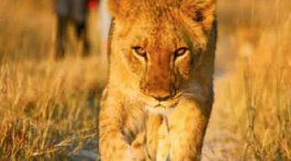 Lion Encounter offers 60 to 75 minute walks with lion cubs