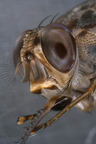 tsetse fly Africa & the middle east - tsetse flies - our safari is june 6 to 22, 2008 just 71 days to go i'm getting soooo excited is (331387) tsetse flies africa & the middle east.