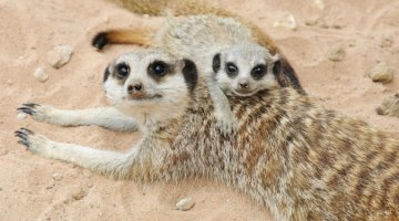 The dominant female meerkat, Suricata suricata, runs a tough burrow. She belongs to the mob!