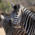 Zebra mare and its foal