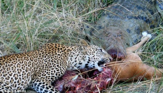Easy pickings - Leopards are extremely agile, stealthy hunters, but scavenging often provides them with a ready-made meal