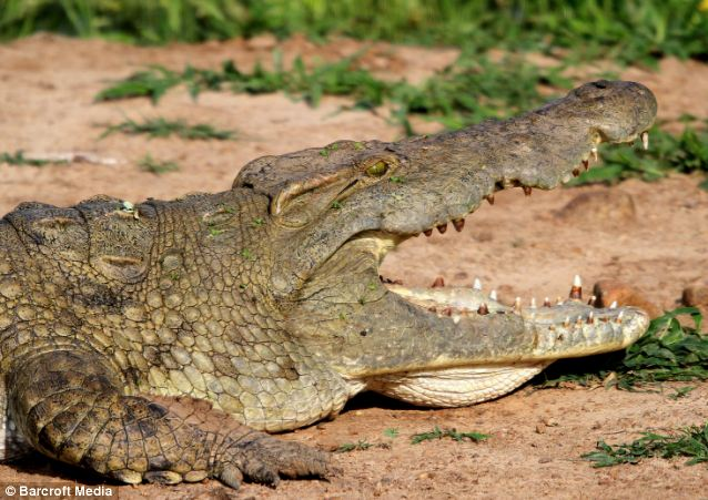 Lethal - The Luangwa River boasts an extraordinary number of Nile crocodiles, with hundreds gathering at a time to hunt or bask in the sun