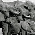 Thirsty elephants of Hwange - Ngweshla Pan - Hwange National Park