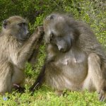 Chacma baboons usually live in social groups