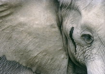 Musthy elephant