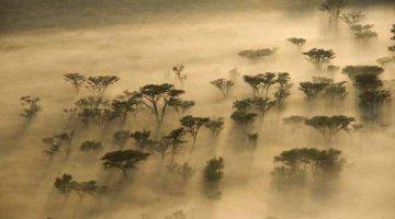 Msasa Trees