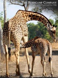 Giraffe suckling