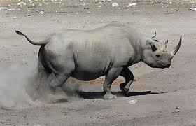 rhino in kunene