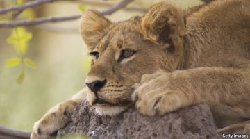 Lion laying around in the shade in Hwange National Park