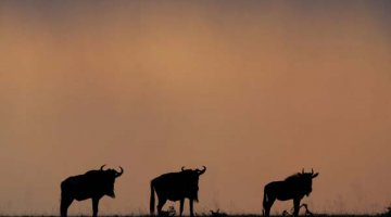 Wildebeest, Gnus by ScottyPhotography