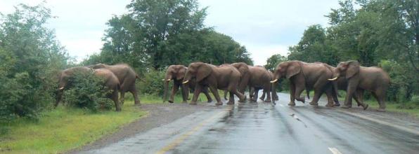 Elephants crossing the road near Livingstone