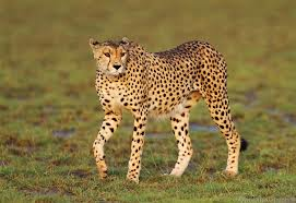 Cheetah taking a stroll on the plain