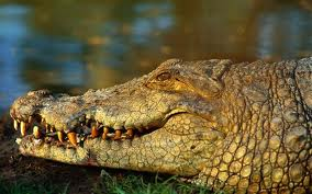 Crocodile attack on the Zambezi River near Victoria Falls ...