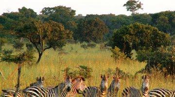 Zebra, Kafue National Park