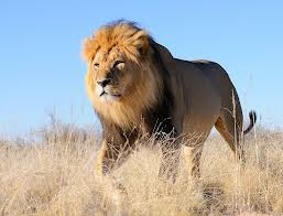 Kalahari Black-Maned Lion
