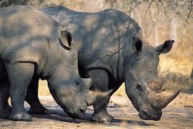 Poachers kill rhino in Maun