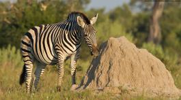 Zebra chobe national park