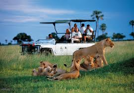 Lions spotted on a game drive