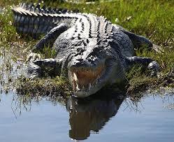 Crocodile attacks local fisherman at Kuburi Camping site, Lake Kariba