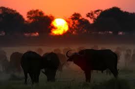 hwange buffalo