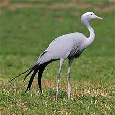 Blue Cranes Face Extinction In Namibia