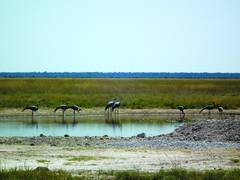 Wattled Cranes (the pair in the centre) together with Blue Cranes at Andoni water hole in April 2013 at Etosha National Park