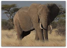An elephant tramples a poacher to death in Zimbabwe.