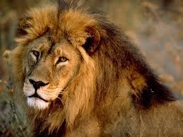 lion okavango delta