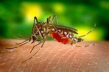 220px-Aedes_aegypti_bloodfeeding_CDC_Gathany