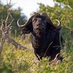 Buffalo rebound