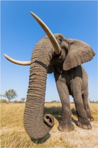 Big bull Jabu suits his role as head of this small elephant herd with his bold and generous personality