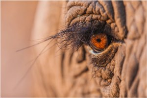 Dainty Thembi is the first to meet wild elephants and chase off lions that come too close