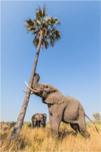 Thembi and Morula wait for Jabu to shake down some delicious palm nuts from the tree