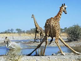 Giraffe and Zebra in the Etosha National Park