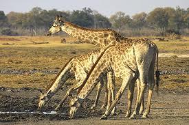 Giraffe drinking from the water in Etosha National Park, Namibia