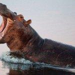 Rafts of hippos