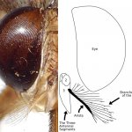 The antennae have arista with hairs which are themselves branched