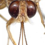 Tsetse have a distinct proboscis, a long thin structure attached to the bottom of the head and pointing forward