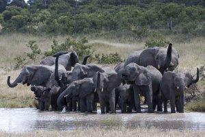 Elephant in Chobe National Park