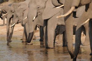Elephants drinking from the river