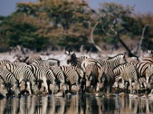 A zebra herd drinking at a waterhole in Botswana