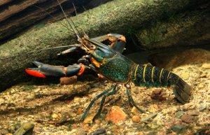 Australian Red Claw Crayfish in the Zambezi River downstream from Lake Kariba