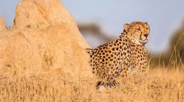 Cheetah in the Hwange National Park