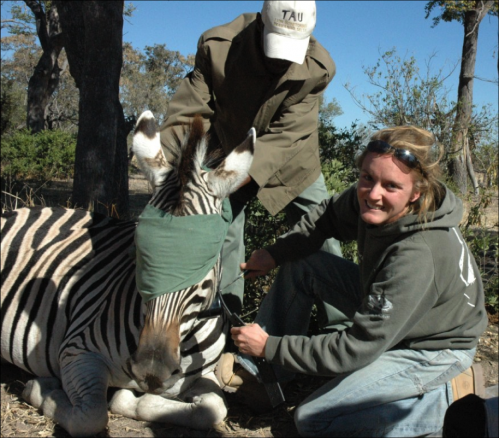 Dr. Hattie Bartlam-Brooks collared a zebra with GPS to track their location along the migration route