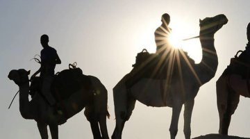 Camels at the Khawa Dune Challenge 2013