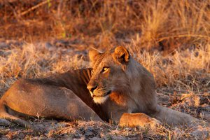 Lion in Lower Zambezi National Park