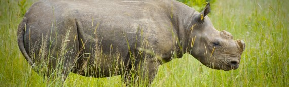 Rhino at Imire after being dehorned